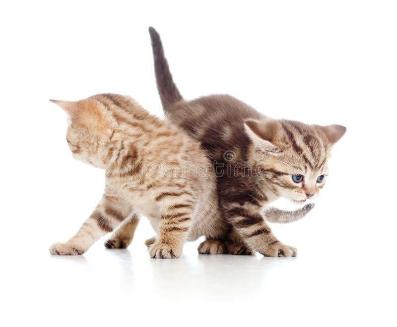 Juego de dos gatitos de los gatos junto fotos de archivo libres de regalías