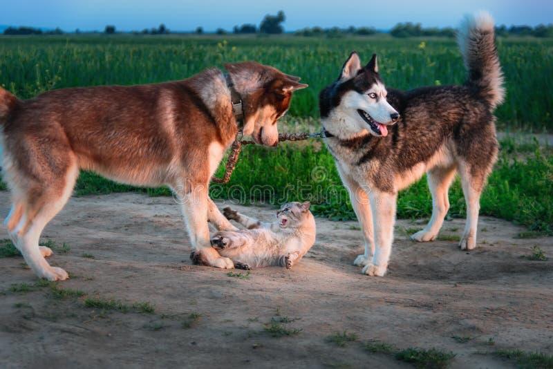 Juego de dos perros con el gato en el paseo El husky siberiano alcanzó gato y lo toca con sus patas El gato silba y rasguña airad fotos de archivo