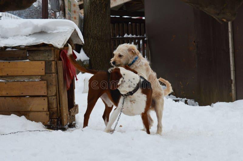 Juego de dos perros en la nieve imagen de archivo libre de regalías