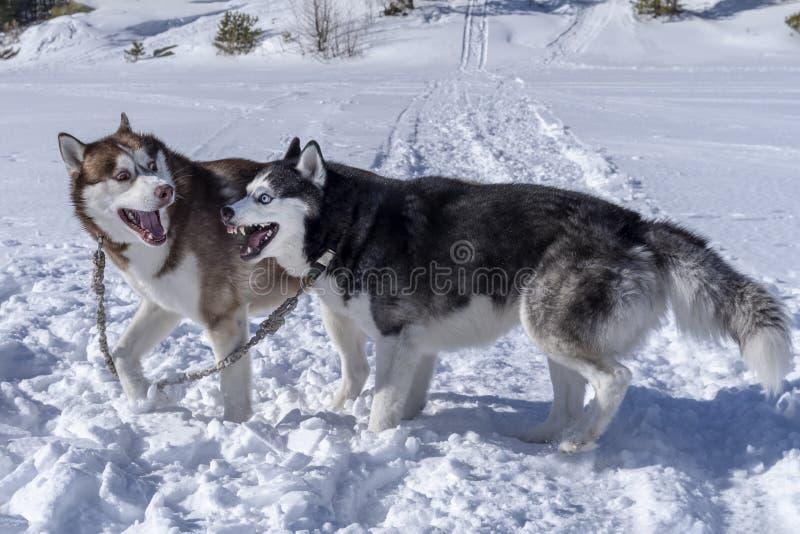 Juego de la amistad de los perros Los perros del husky siberiano juegan en nieve Paseo del invierno con los animales domésticos imagenes de archivo