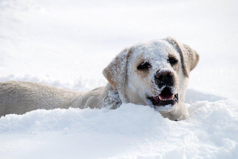 Juego de Labrador en nieve fresca foto de archivo libre de regalías