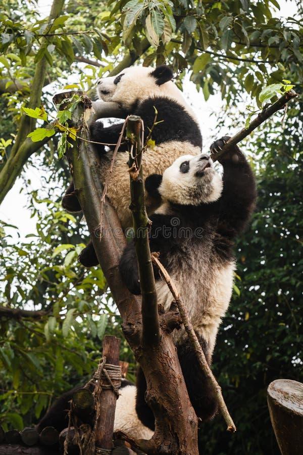 Juego de las pandas en copas en China fotografía de archivo libre de regalías