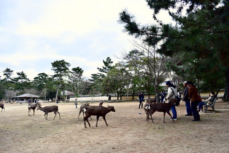 Juego de los ciervos del parque de Japón Nara con la gente foto de archivo libre de regalías