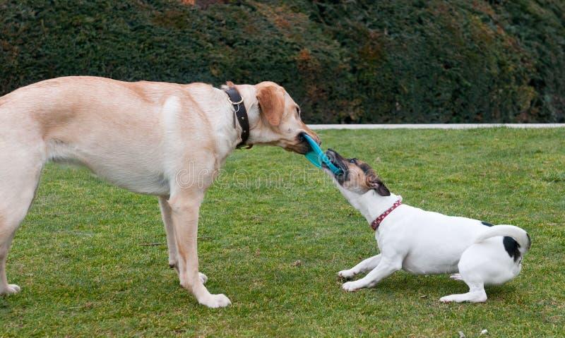 Juego de los perros en una hierba verde foto de archivo libre de regalías