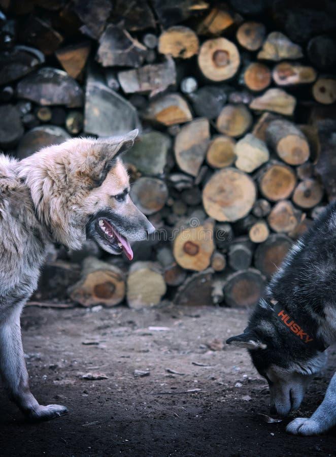 Juego del husky siberiano foto de archivo libre de regalías