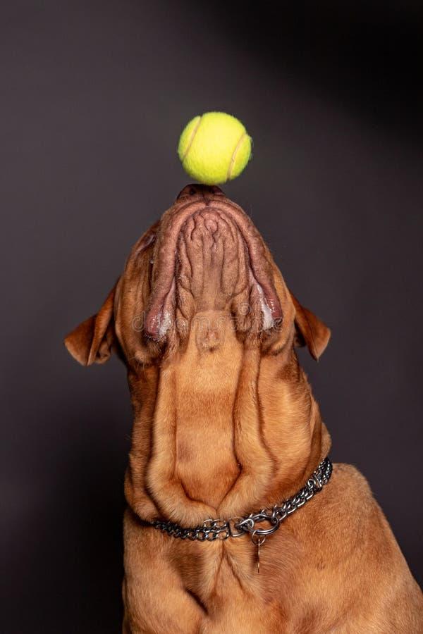 Juego del perro de Dogue de bordeaux con una bola de los tenns foto de archivo libre de regalías