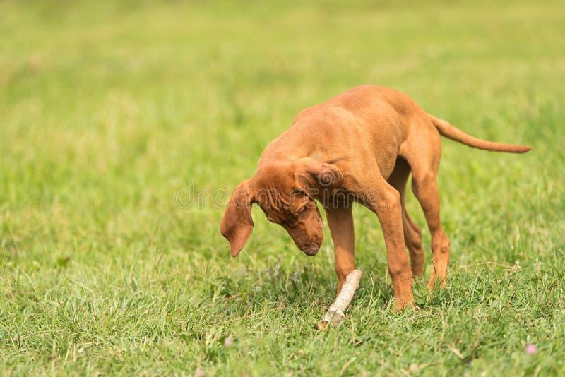 Juego húngaro del perro del vizsla con un palillo fotografía de archivo