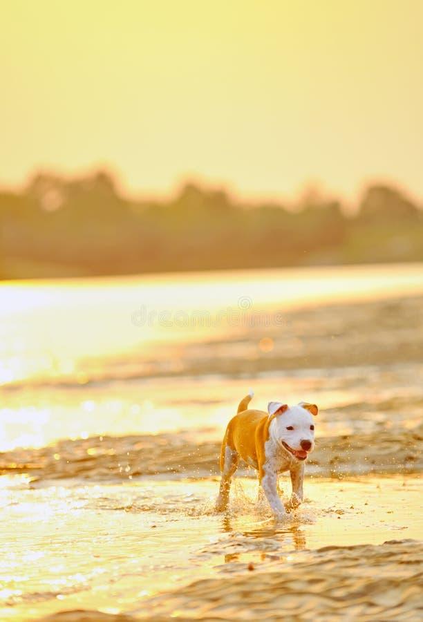 Juego i del perro del terrier de Staffordshire americano foto de archivo libre de regalías