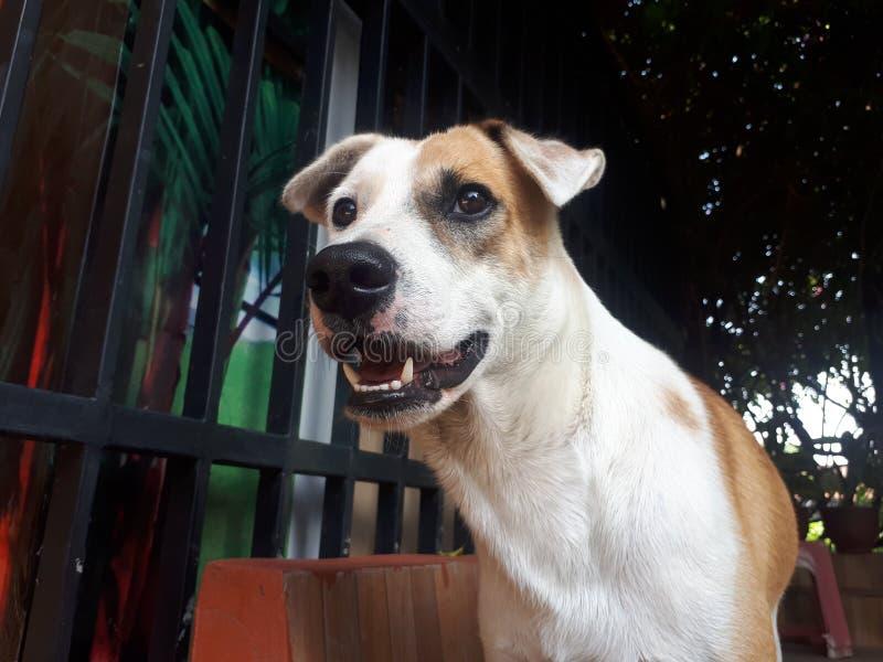Juego lindo blanco del perro de Brown imagen de archivo libre de regalías