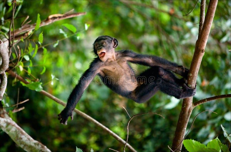 Juegos del Bonobo del cabrito. fotos de archivo