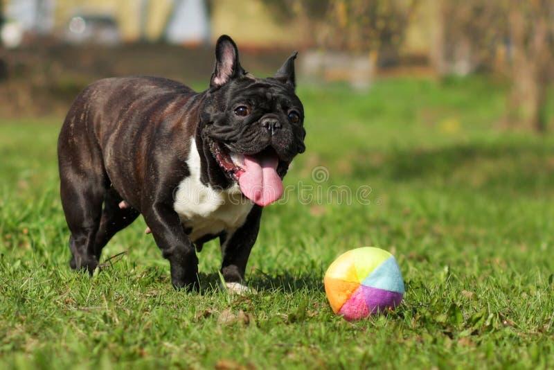 Juegos felices del dogo francés del perro con la bola imagen de archivo libre de regalías