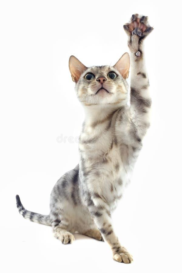 Jugar el gato de Bengala fotografía de archivo libre de regalías