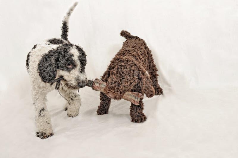 Jugar español de dos el pequeño de agua perritos del perro fotografía de archivo