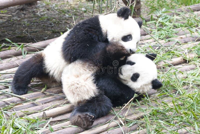 Jugar a Panda Bears, Chengdu, China foto de archivo