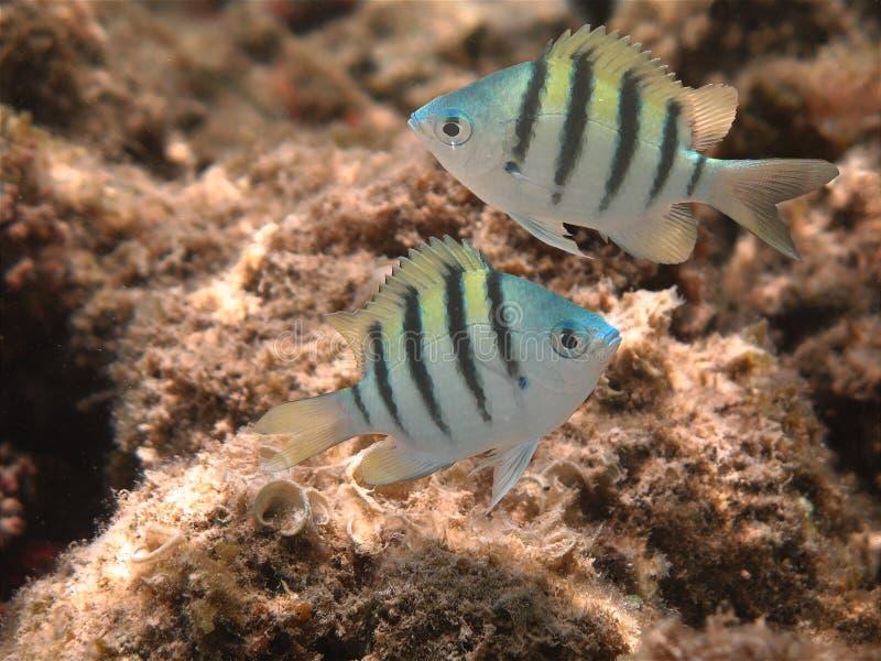 Jugendliche Paare hawaiischen SergeantDamselfish (mamo) lizenzfreie stockfotografie