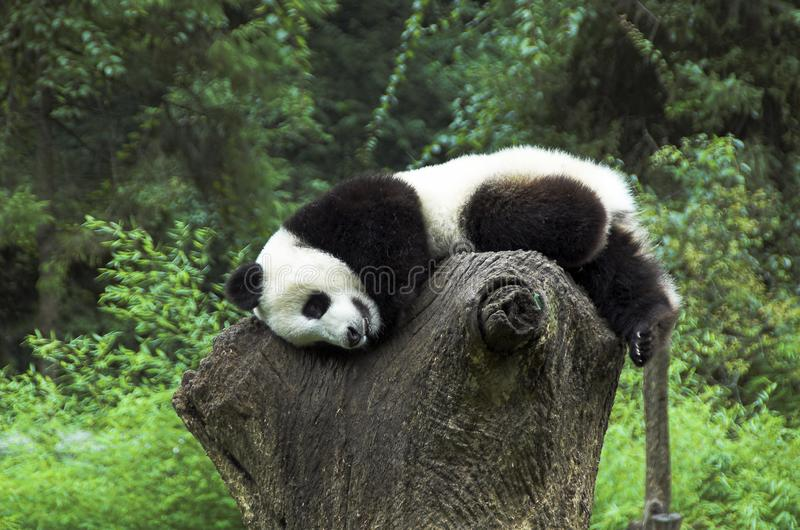 Jugendlicher des großen Pandas, der auf Baumstumpf stillsteht lizenzfreie stockfotos