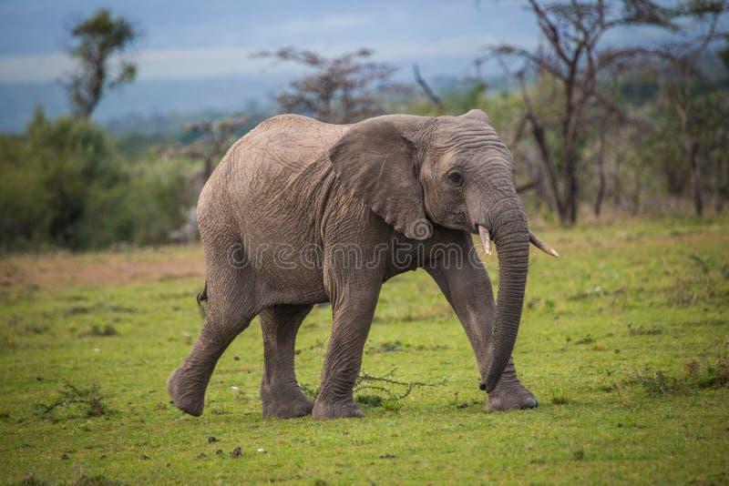 Jugendlicher Elefant-Betrieb stockfotos