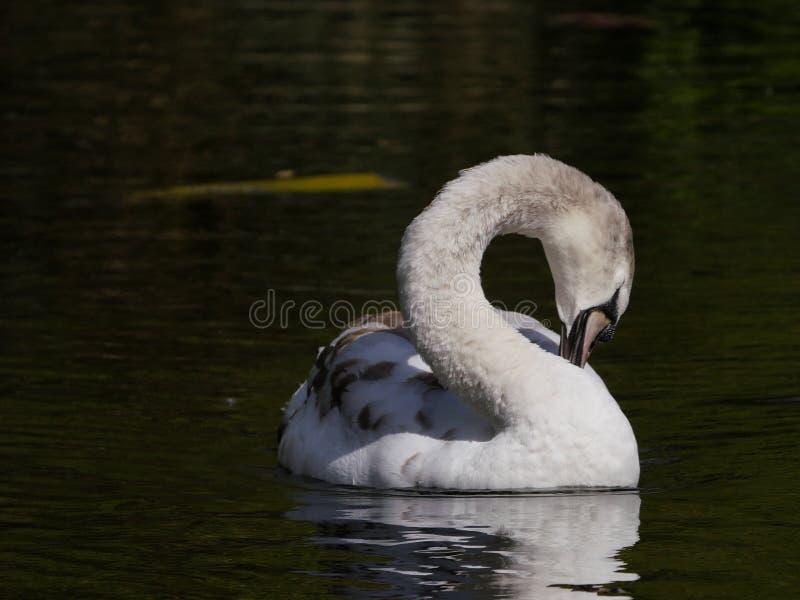 Jugendlicher Höckerschwan, schwimmend auf dem Fluss beim Putzen mit dem Hals hinten gekurvt stockbilder