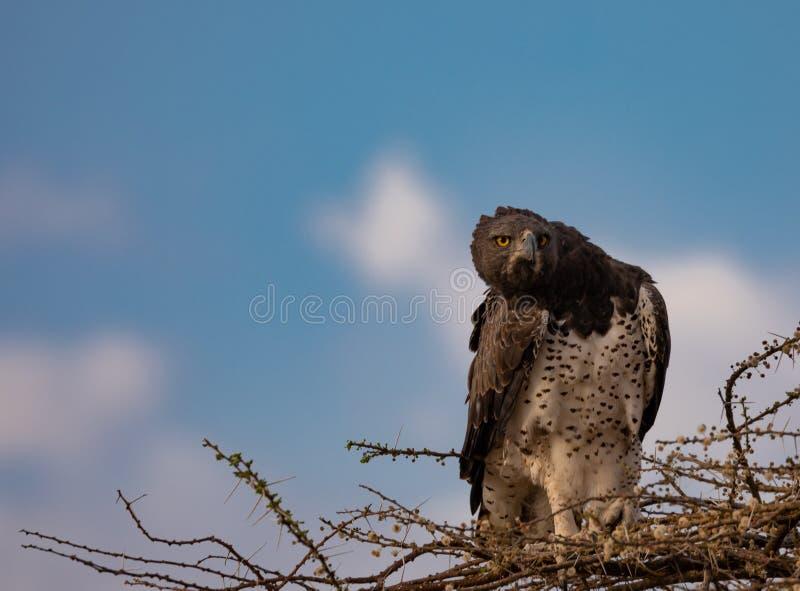 Jugendlicher Kampfadler, Polemaetus-bellicosus, verletzbare Spezies, gehockt auf Niederlassungen des Knospungsakazienbaums mit BA stockfoto