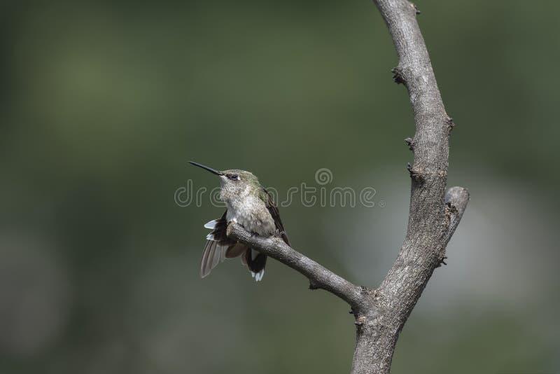 Jugendlicher männlicher Kolibri, der eine Morgenausdehnung hat stockbild