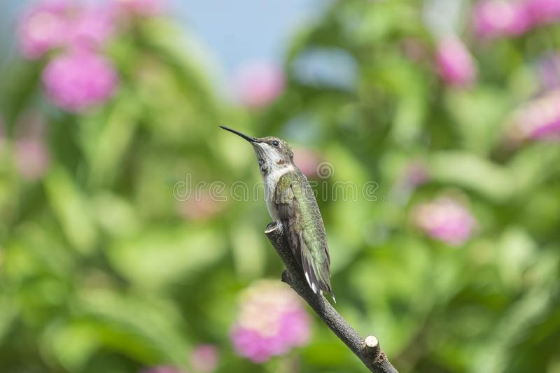 Jugendlicher männlicher Rubin-throated Kolibri gehockt nahe Lantanablumen lizenzfreies stockfoto