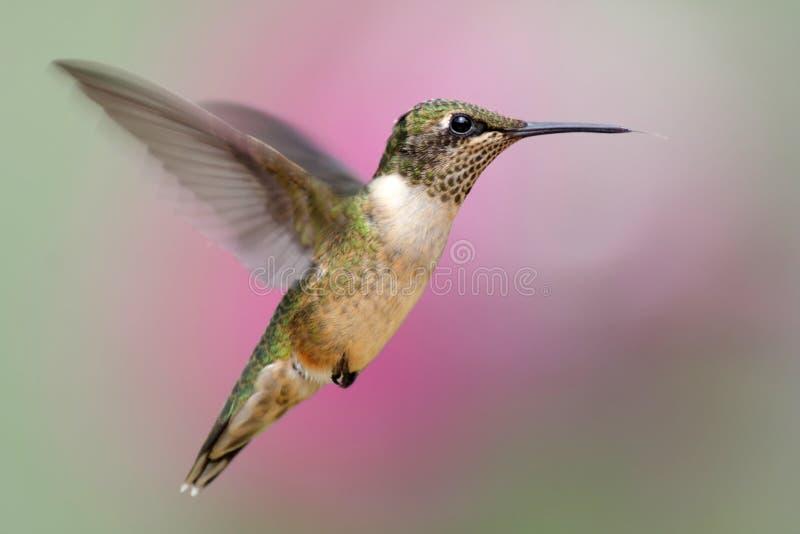 Jugendlicher Rubin-throated Kolibri lizenzfreies stockfoto
