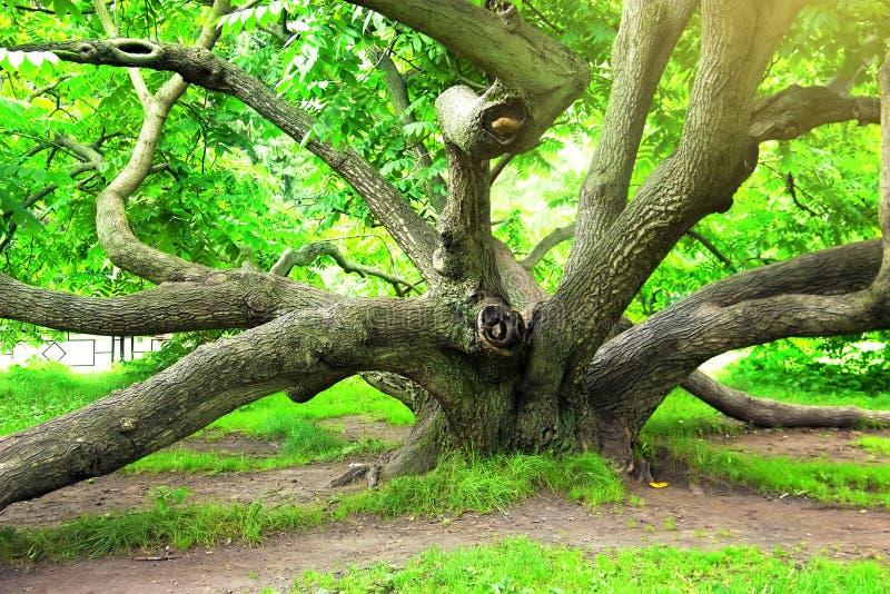 Juglansmandshurica, det Manchurian valnötträdet Tsytsin den huvudsakliga Moskvabotaniska trädgården av akademin av vetenskaper royaltyfria bilder