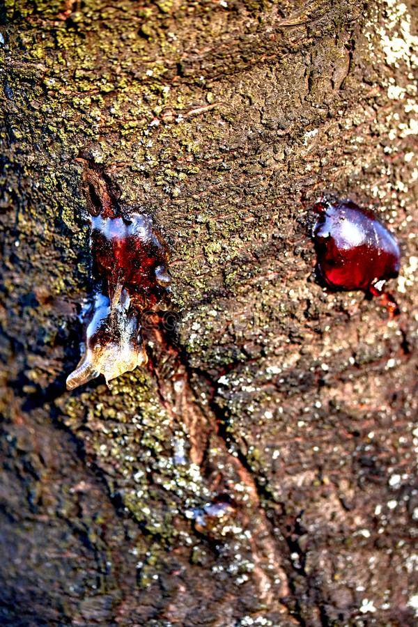 jugo pegajoso congelado de la resina sólida en la corteza de un tronco de árbol imagenes de archivo
