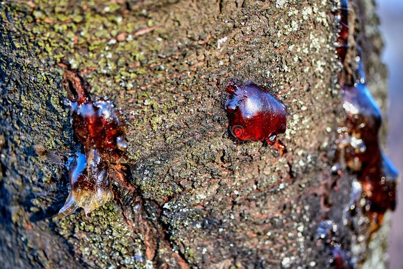 jugo pegajoso congelado de la resina sólida en la corteza de un tronco de árbol fotos de archivo