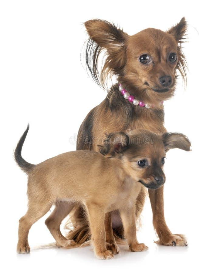 Juguete y adulto de Russkiy del perrito foto de archivo libre de regalías