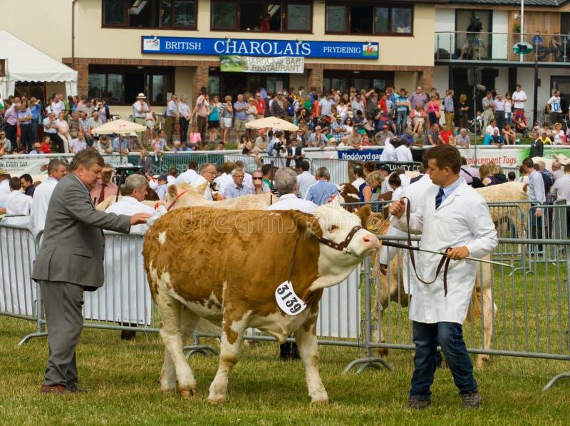 Juicio del ganado de Hereford en la demostración galesa real fotografía de archivo