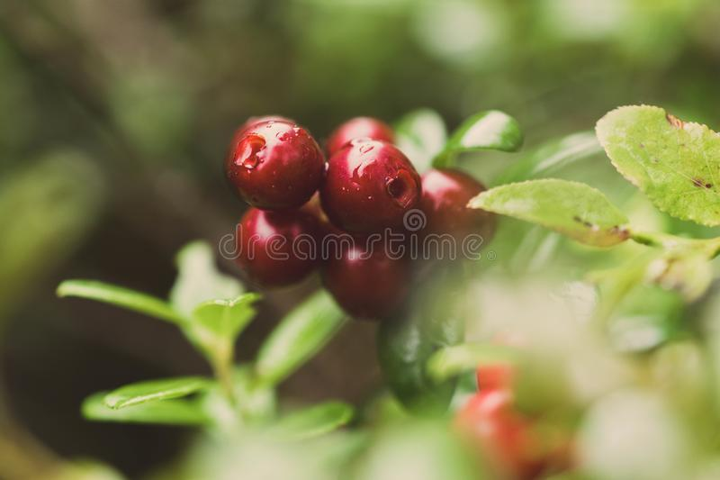 Juicy και κόκκινα cowberries στοκ φωτογραφία