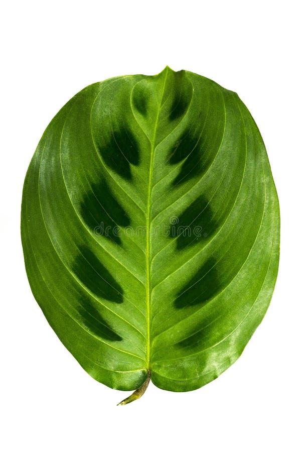 Juicy και φρέσκα φύλλα που απομονώνονται στο άσπρο υπόβαθρο στοκ εικόνες με δικαίωμα ελεύθερης χρήσης