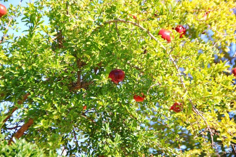 Juicy ώριμα κόκκινα ρόδια στοκ φωτογραφία με δικαίωμα ελεύθερης χρήσης