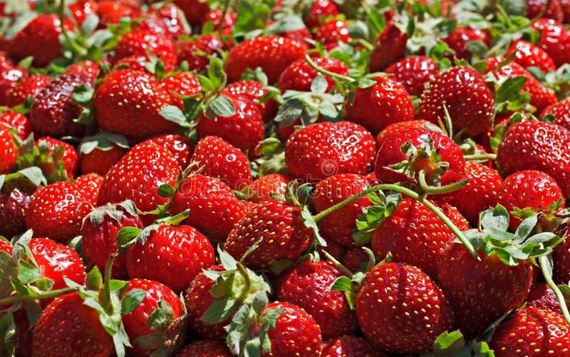 Juicy ώριμα strawberrys στοκ εικόνες με δικαίωμα ελεύθερης χρήσης