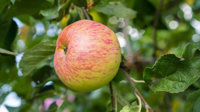 Juicy apple hangs on a tree.  royalty free stock photos