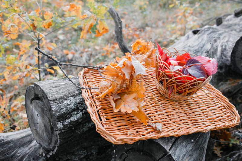 Juicy apples on a wicker tray, surrounded by fallen autumn leaves. Beautiful branch with dry lying around . Five . royalty free stock photo