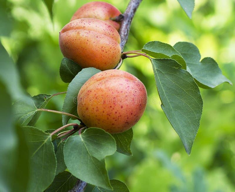 Juicy apricots crop ripe stock photos