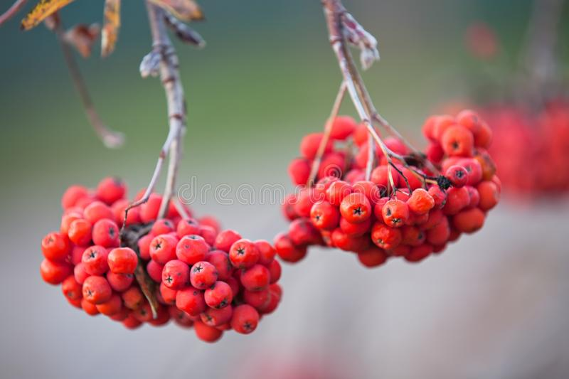 Juicy beautiful clusters of mountain ash on the branches in the autumn stock photos