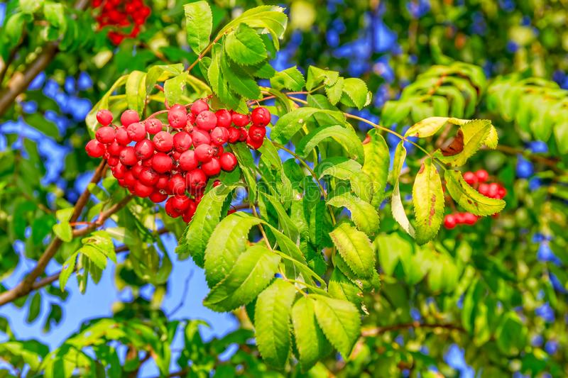 Ripe red berries of mountain ash on a green branch. stock photo