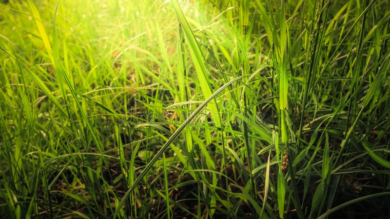 Juicy, dense grass, like a small forest, plays in sunlight in all shades from light green to emerald. Spring flowers blossom. Blurred background royalty free stock photography
