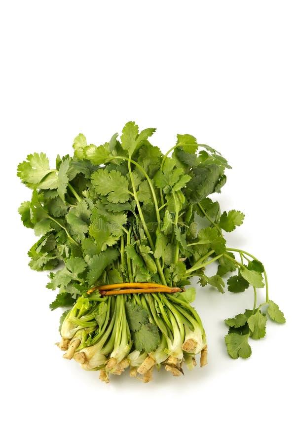 Juicy fragrant coriander stock images