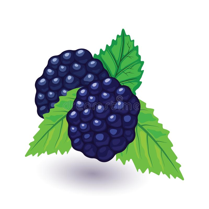 Juicy and fresh blackberry with green leaves. Sweet black raspberry. vector illustration