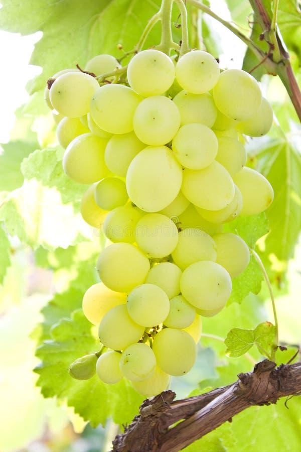 Juicy Grape Stock Photos