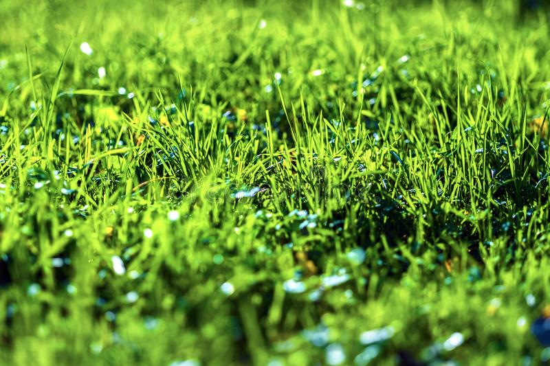 Juicy green grass. High quality large size photo of grass, close up view, true natural juicy colors, good composition. Image shows almost macro view of juicy royalty free stock photography