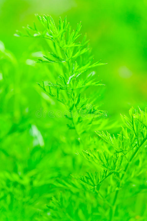 Download Juicy Green Leaf Dill Close-up Stock Photo - Image: 32911008