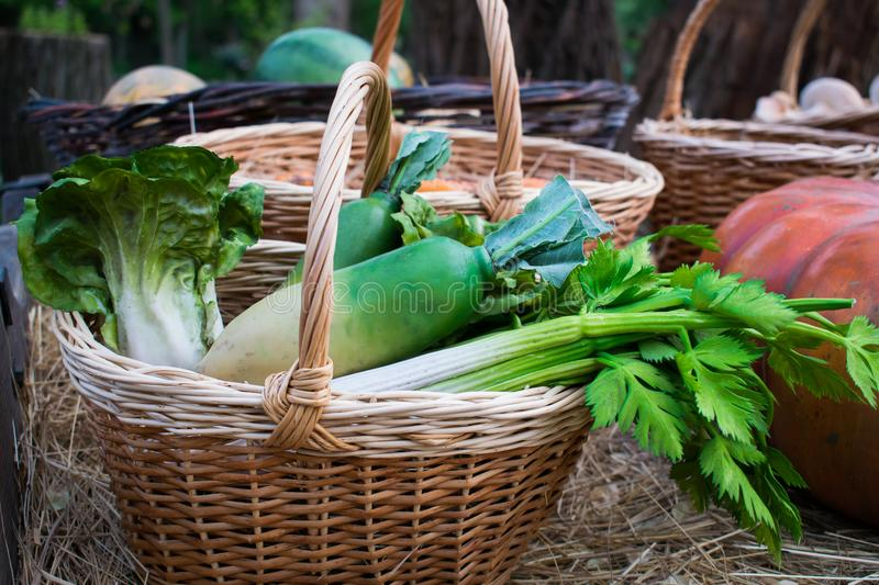 Juicy, green salad vegetables and leaves, chinese cabbage, radish and celery in a brown vine basket after harvesting in the open a royalty free stock photography