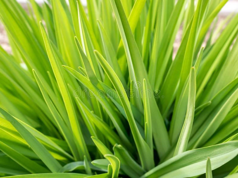 Juicy lush green grass on meadow with sun highlights in the sunny day. Natural summer spring background. Close-up royalty free stock photography