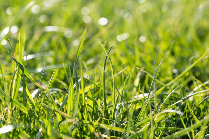 Juicy lush green grass on meadow with sun highlights in the sunny day. Natural summer spring background close-up, copy space royalty free stock photography