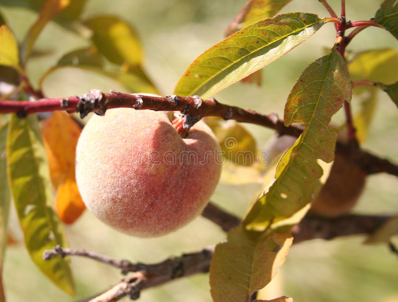 Download Juicy Peach Stock Images - Image: 195114